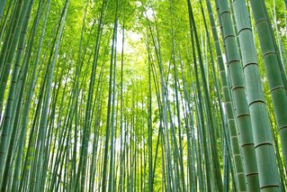 Enjoy beautiful bamboo forests in Japan...